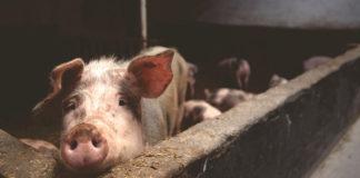 Afrykański pomór świń: ostrzeżenie dla gminy Boćki odwołane
